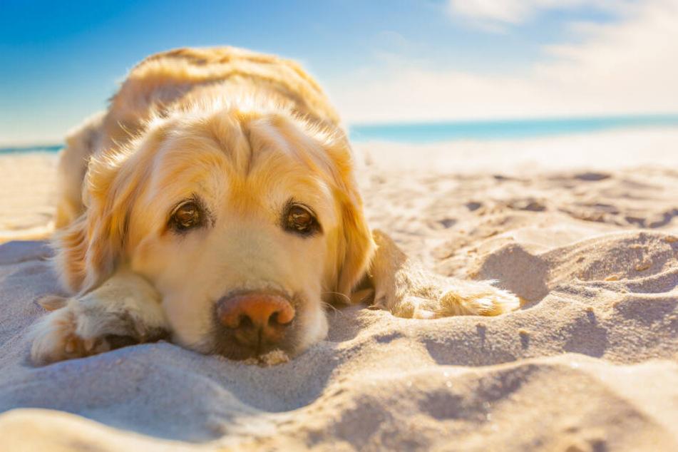 Hunde regulieren ihre Körpertemperatur übers Fell.