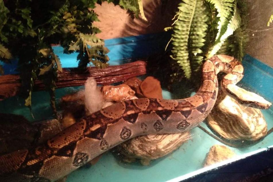 Die vermisste Schlange wurde gemeinsam mit seinem vergleichbaren Mitbewohner (auf dem Foto) in einem Terrarium gehalten.