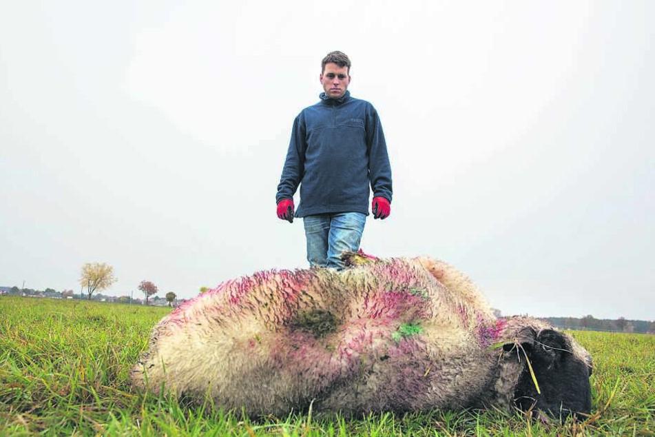 Schäfer Martin Just (35) muss wieder den Verlust von sechs Schafen beklagen. Diesmal wurden sechs Tiere gerissen.