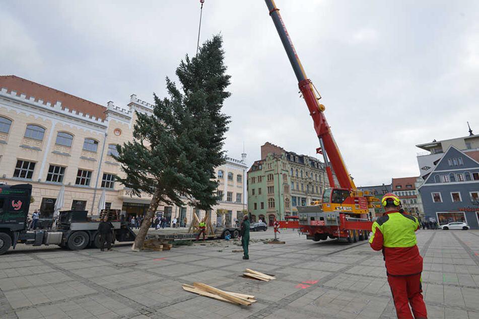 Ganz vorsichtig richtete ein Kran den gleichmäßig gewachsenen Weihnachtsbaum auf.