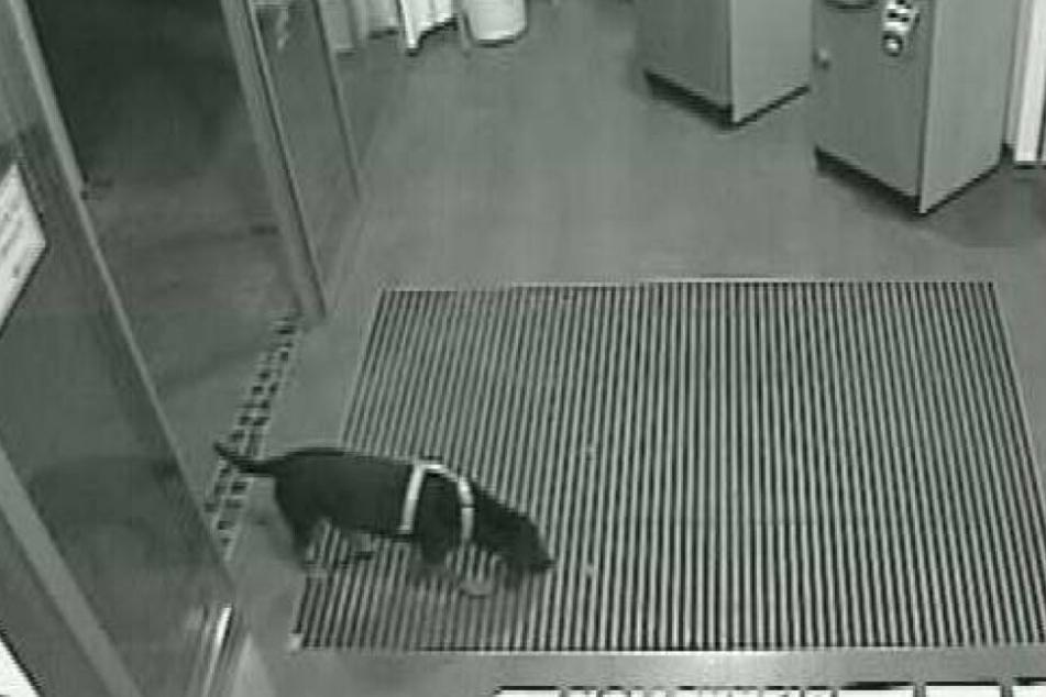 Neugierig schnüffelte der von der Polizei gesuchte Vierbeiner in einer Bankfiliale herum.