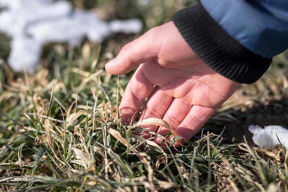Die Blätter sind erfroren. Ob die Gerste überlebt, ist ungewiss.