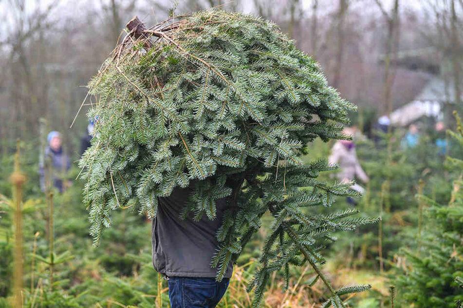 Schon kurz nach dem Fest bieten sächsische Kommunen die kostenlose Entsorgung von Weihnachbäumen an.