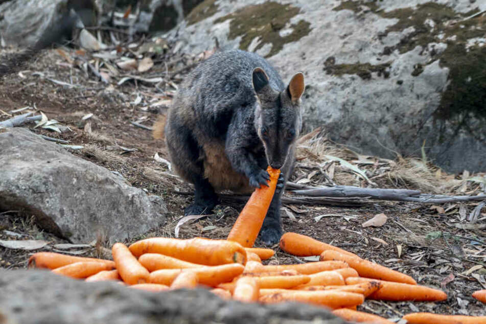 Ein Wallaby vor einigen Karotten, die die Helfer abgeworfen haben.