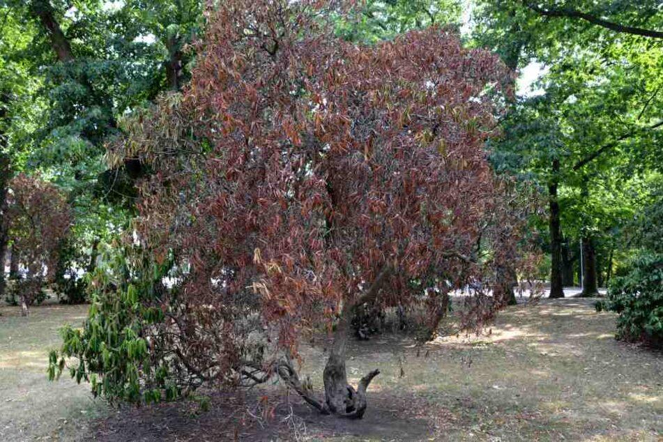 Im Wilhelm-Külz-Park weisen bereits mehrere Bäume Austrocknungserscheinungen auf.
