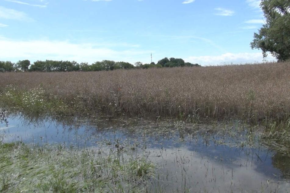 50 Hektar Weizen stehen unter Wasser.