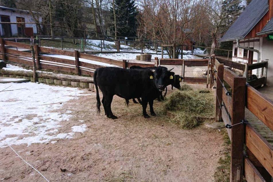 Zwerg-Bulle Harald (vorn) und Kuh Karin wohnen seit zwei Wochen im Auer Zoo der Minis. Sie sorgen nun für Nachwuchs.