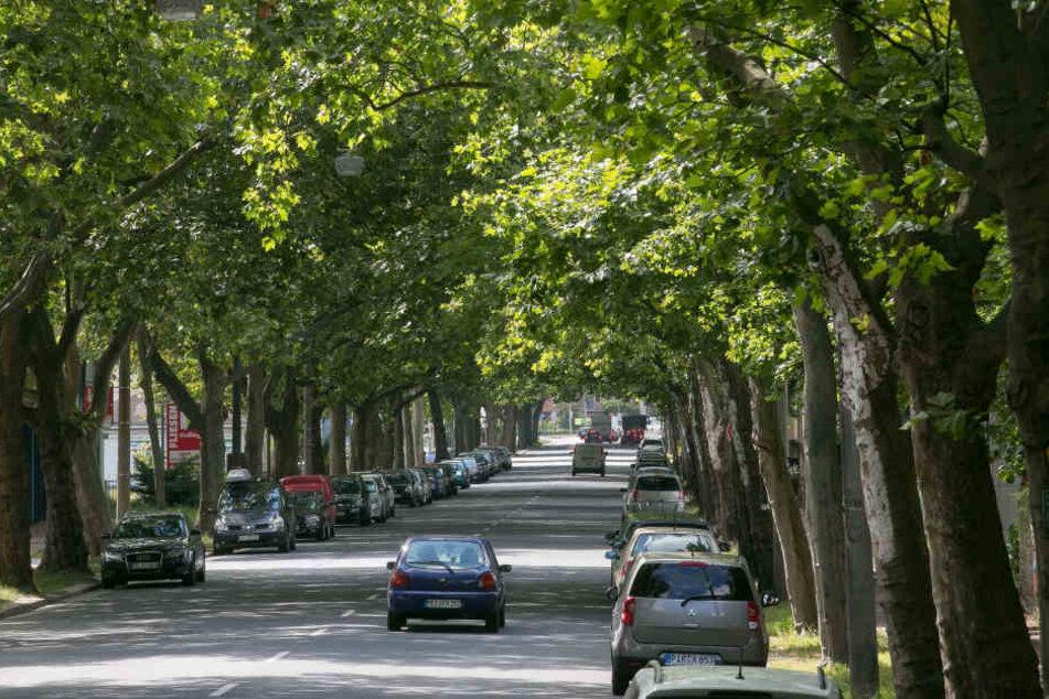 In Dresden sollen wieder mehr Straßenbäume gepflanzt werden, damit in vielen Jahren solch prächtige Alleen wie an der Bremer Straße häufiger werden.