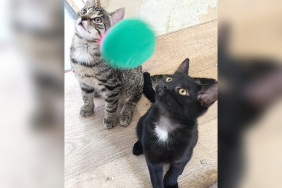 Am Spielen haben die Katzen-Geschwister am meisten Spaß...