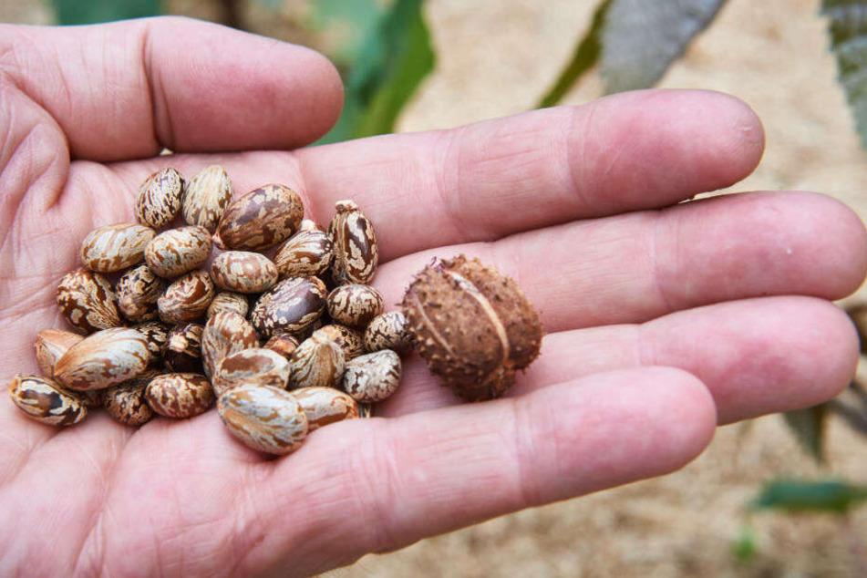 Samen und eine Frucht des Rizinus- oder Wunderstrauchs.