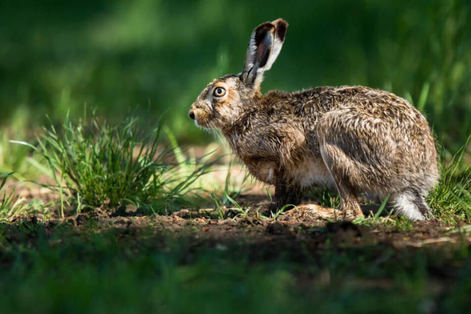 Der Hasen-Pest-Erreger (Tularämie) wurde nun bei einem Wildschwein festgestellt. Bei Feldhasen führt er häufig zu deren Tod.