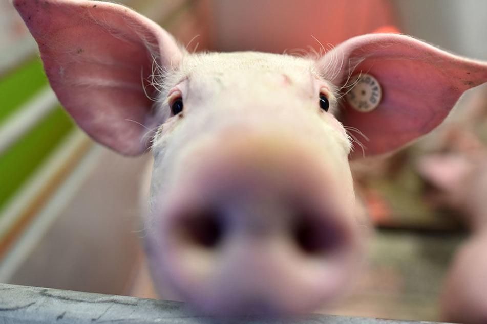 Es geht um Tierschutzverstöße in einer Schweinezuchtanlage bei Aschara.