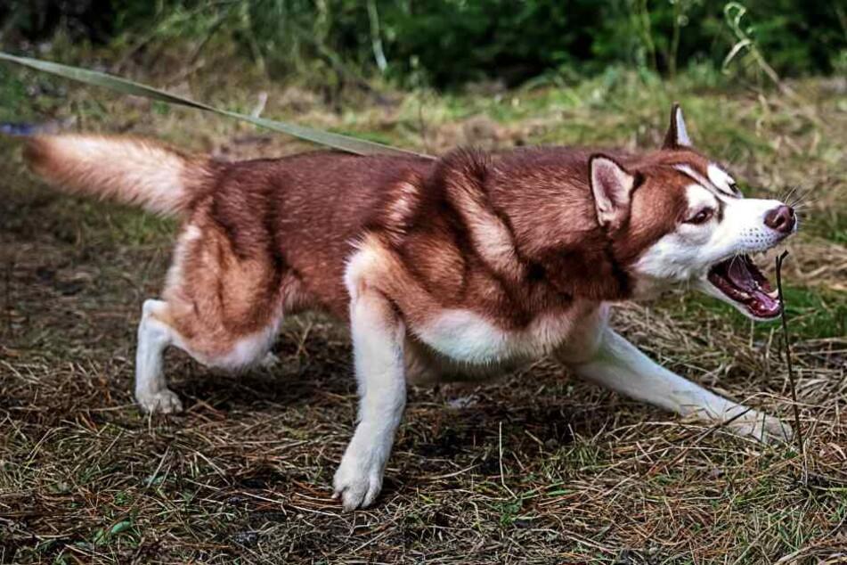 Zahlreiche Schafe töteten die beiden Huskies. (Symbolbild)