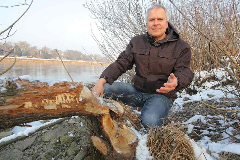 Dresden hat einen Biber-Manager. Harald Wolf (51) vom städtischen Umweltamt zeigt an der Johannstädter Fähre frische Nagespuren des Bibers.