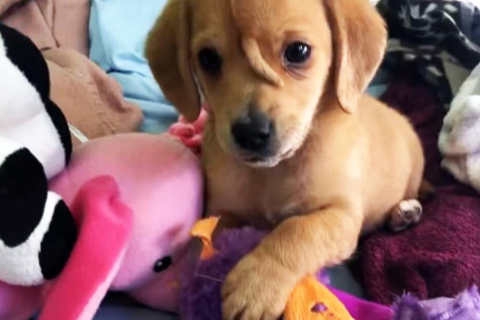 Hund wächst Schwanz aus der Stirn -