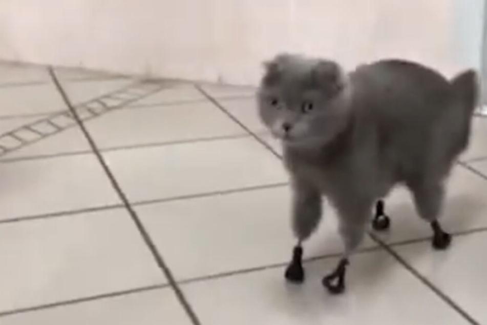 Katze kann dank Prothesen aus dem 3D-Drucker wieder laufen