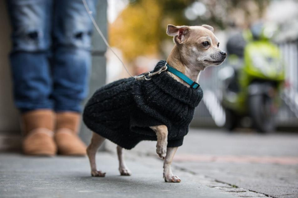 Der kleine Chihuahua starb in einer Tierklinik. (Symbolbild)