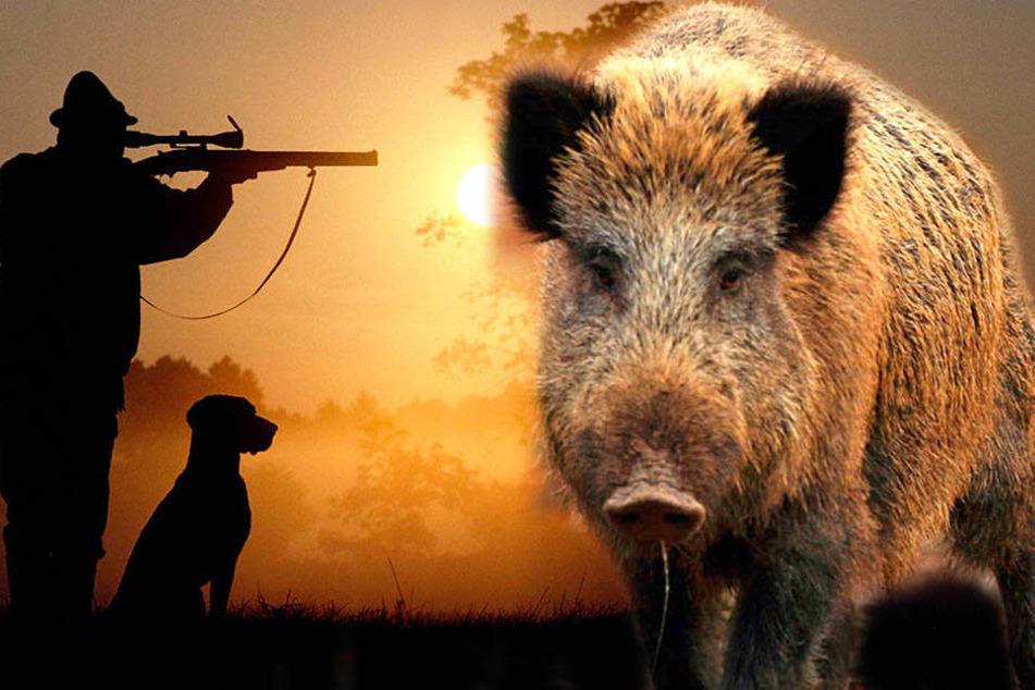 Jägern reicht's! Noch mehr Tote Wildschweine wären gegen die Ehre