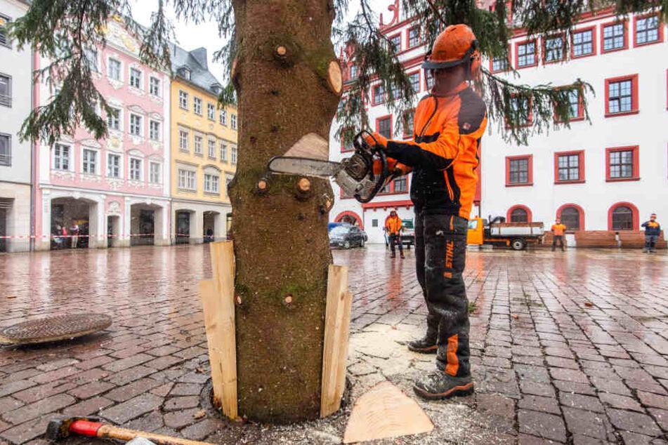 Eine Minute knatterte gestern die Säge, dann legte Mirko Clauß (39) vom Grünflächenamt den Chemnitzer Weihnachtsbaum um.
