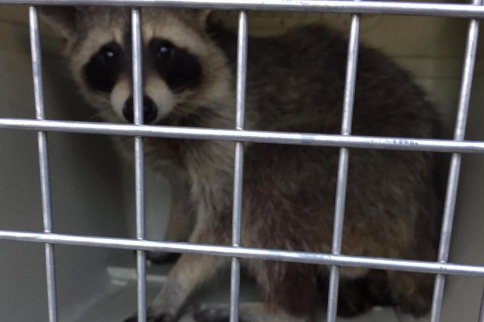 Nach der Rettung kam das Tier in einer Transportbox zur Überprüfung in eine Klinik.