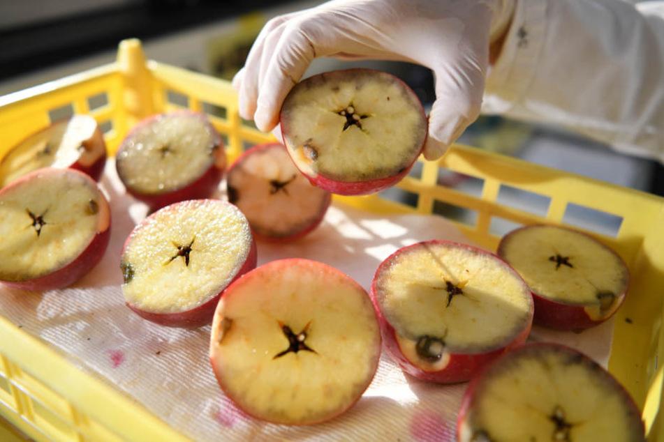 Diese halbierten Äpfel wurden im KOB mit einer Jod-Kalium-Lösung bestrichen. So wird der Reifegrad festgestellt.