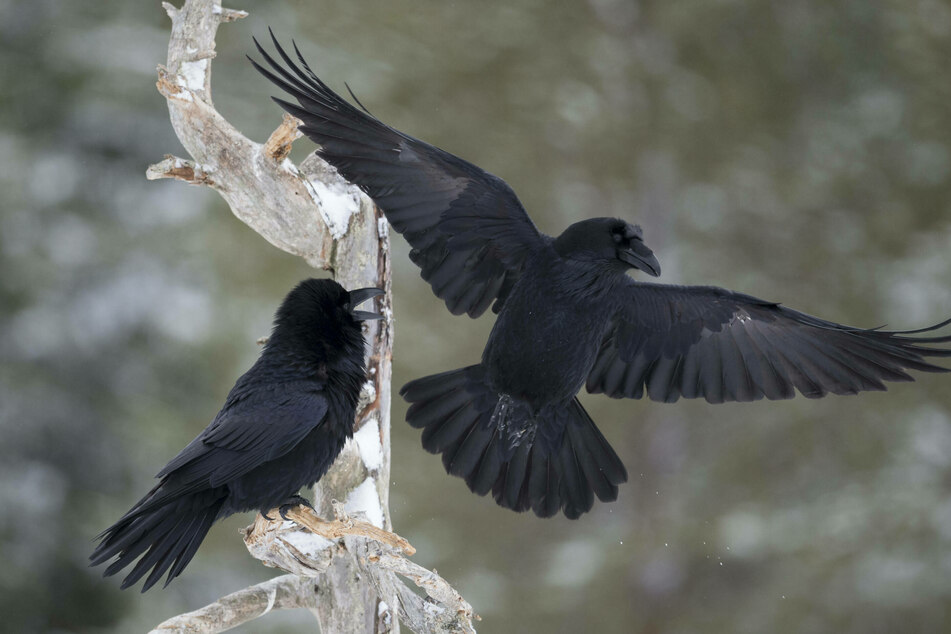 Robbin' ravens: Costco customers tormented by feathered thieves in Alaska
