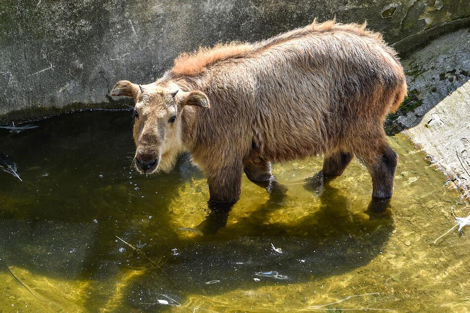 Jungtier Dagu (5 Monate) hat der Wasserstelle einen Besuch abgestattet.