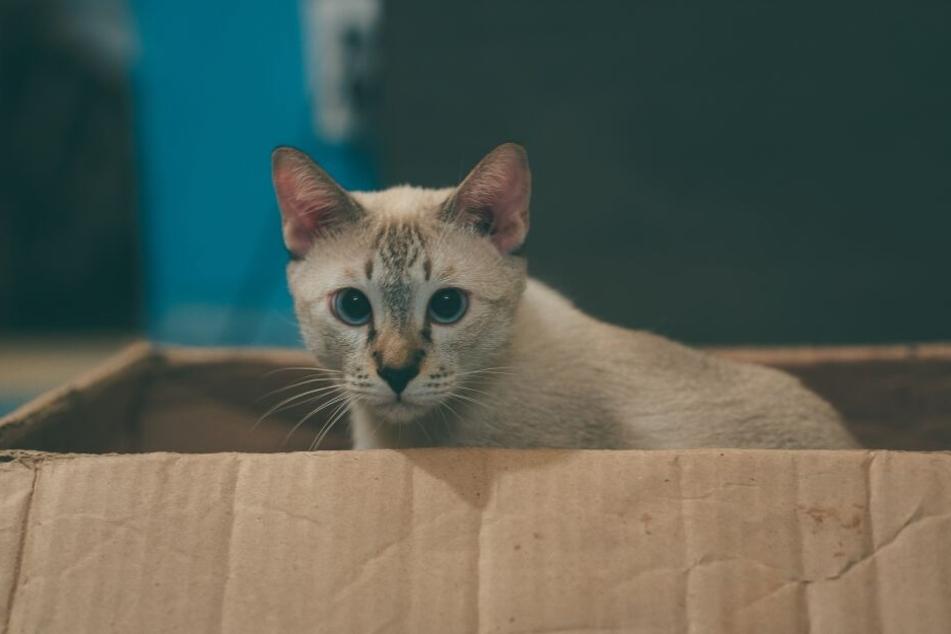 Für Katzen sind Kartons ein günstiges und weitgehend ungefährliches Spielzeug.
