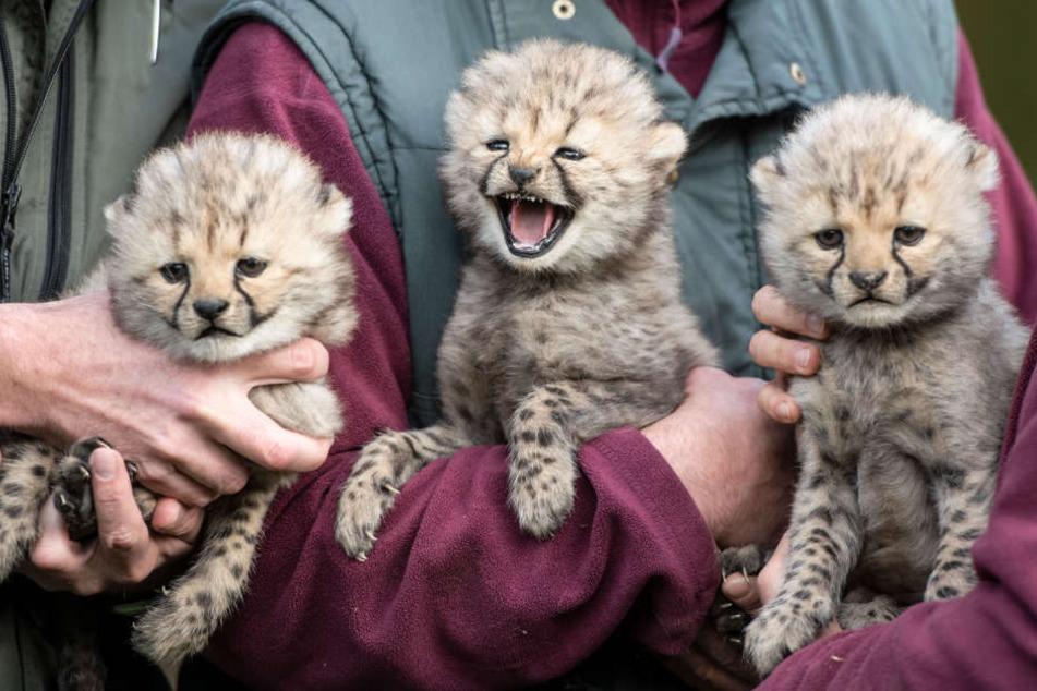 Die drei Fellknäule sind die neue Attraktion im Münsteraner Zoo.