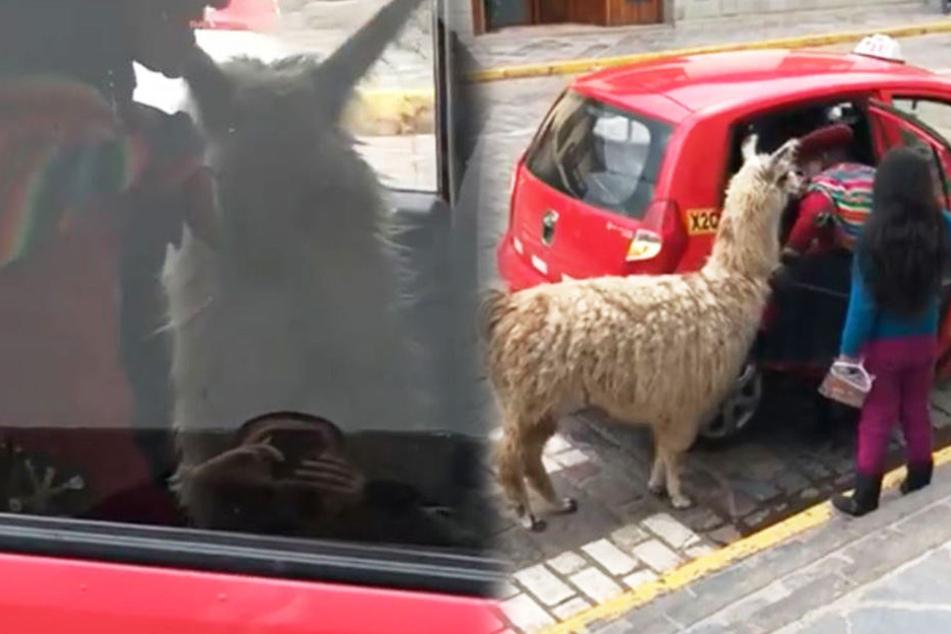 Abgefahren! Was macht ein Alpaka denn hier im Taxi?