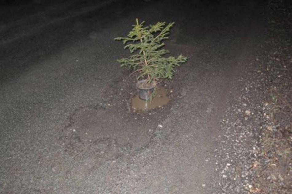 Gleich vier solcher Bäume steckten in Schlaglöchern auf der Gartenstraße in Sebnitz.