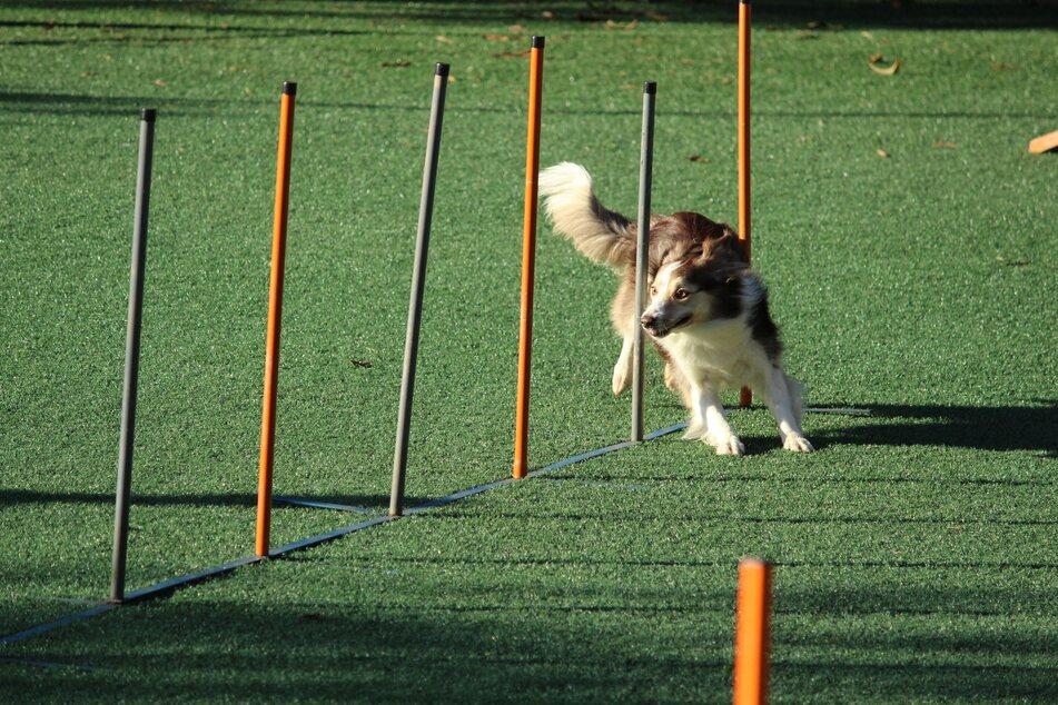 15 sportliche Hunderassen für aktive Menschen