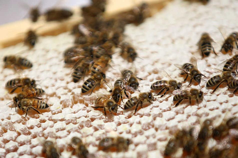 Die Bienen konnten im Sommer nicht genug Pollen einsammeln.