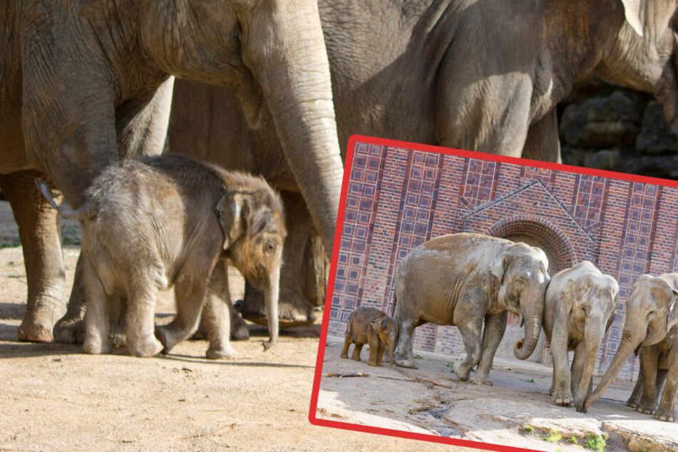 In seiner neuen Herde fühlt sich der kleine Elefant pudelwohl.