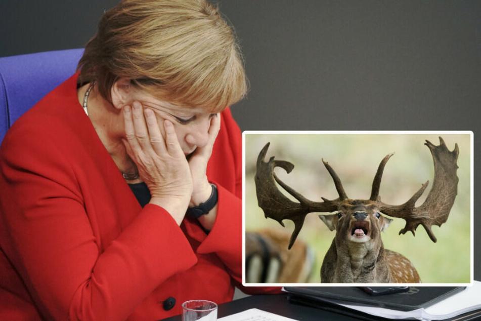 Damhirsch versperrt Angela Merkel den Weg