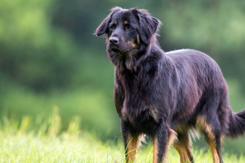 Hat ein Hunde-Hasser im Landkreis Kassel mit Nägeln präparierte Köder ausgelegt (Symbolbild)?