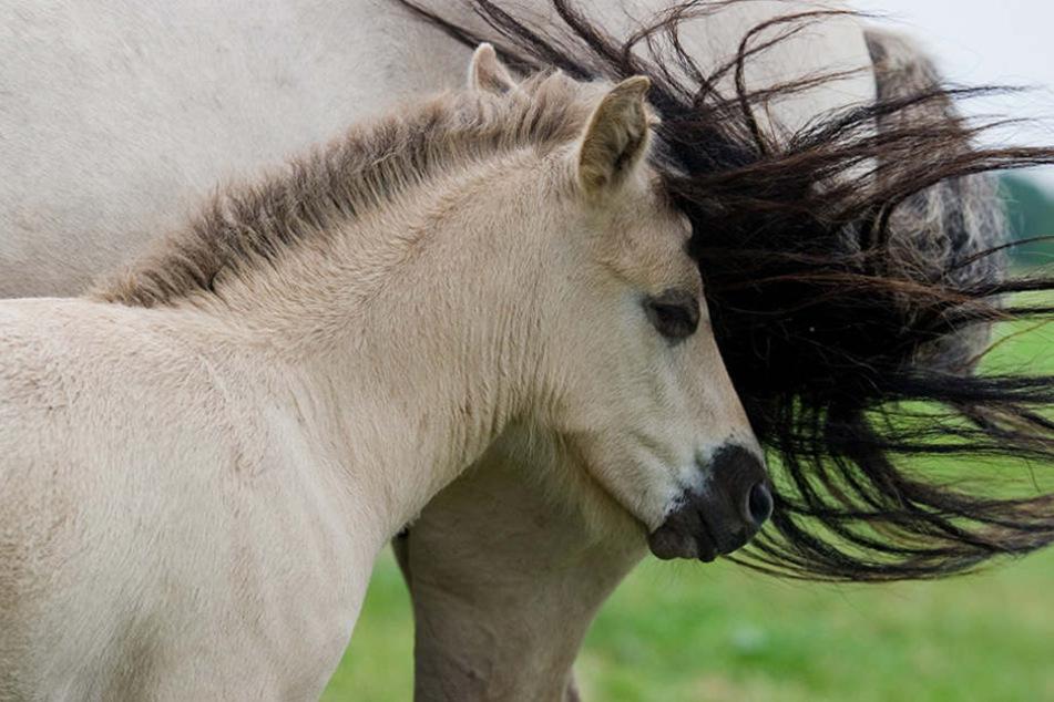 Meldungen über mutmaßliche Pferdehasser häufen sich in den vergangenen Monaten in Brandenburg. (Symbolbild)