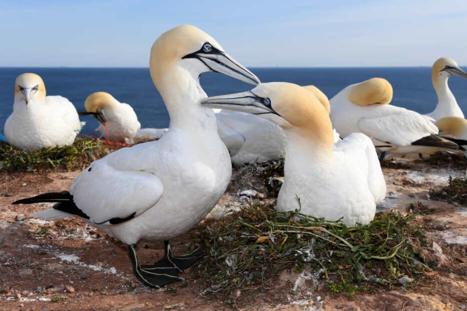 Basstölpel sitzen auf ihren Nestern, in denen sie Plastikmüll eingearbeitet haben. (Archivbild)