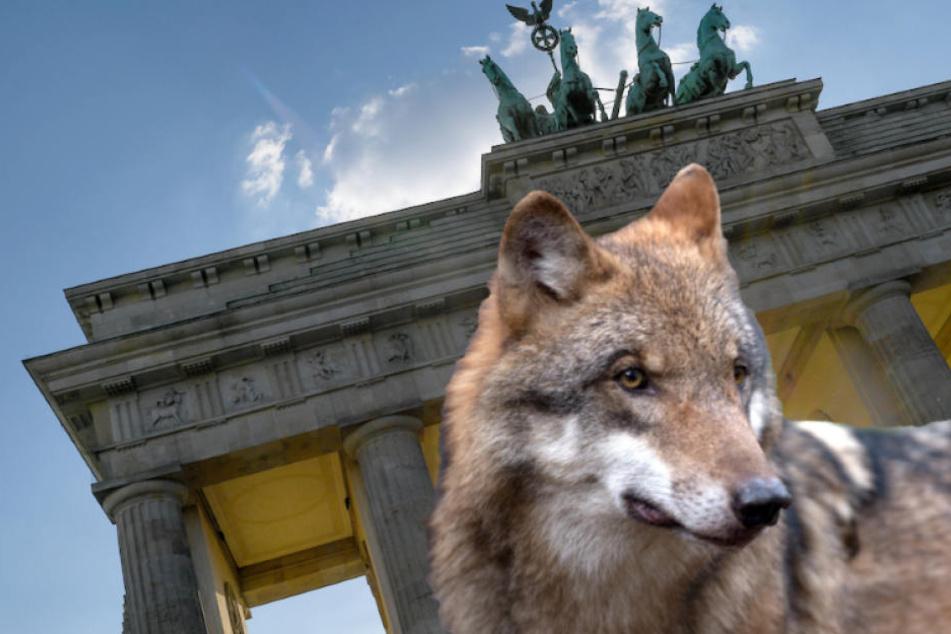 Gehören Wölfe schon bald zum Berliner Stadtbild? (Bildmontage)
