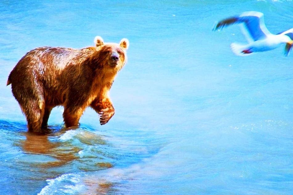 Ein Braunbär schaut verdutzt vom Lachsfischen hoch zu einer wegfliegenden Möwe.