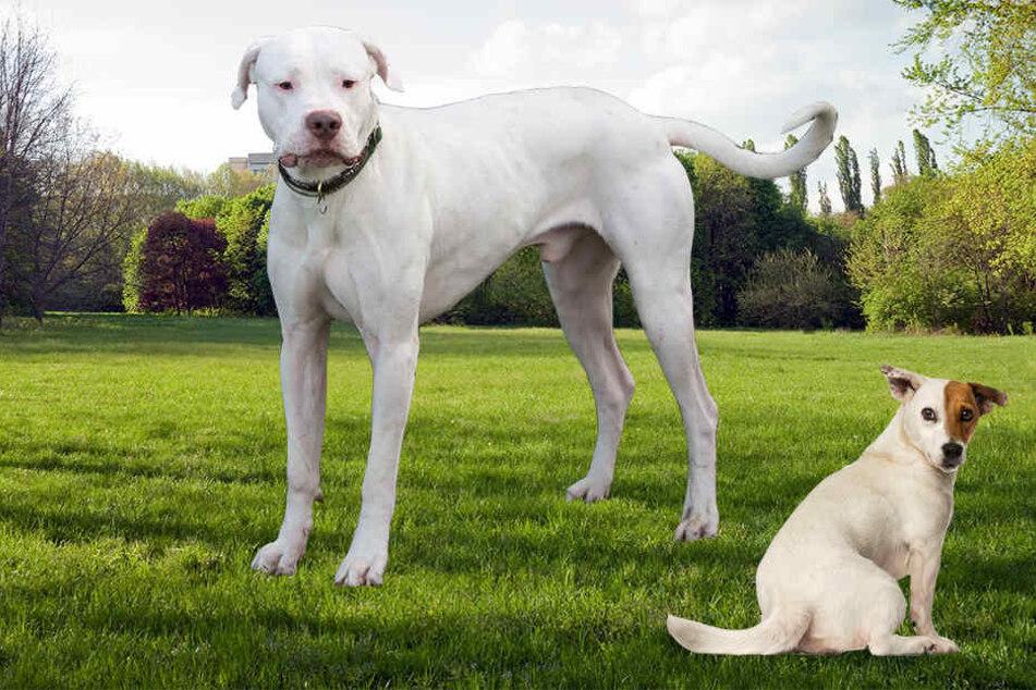 Ein Dogo Argentino (links) fiel plötzlich über einen Jack Russel her.