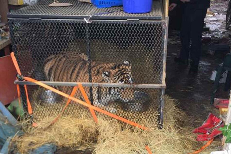 Der Tiger war in einem viel zu kleinen Käfig eingesperrt.
