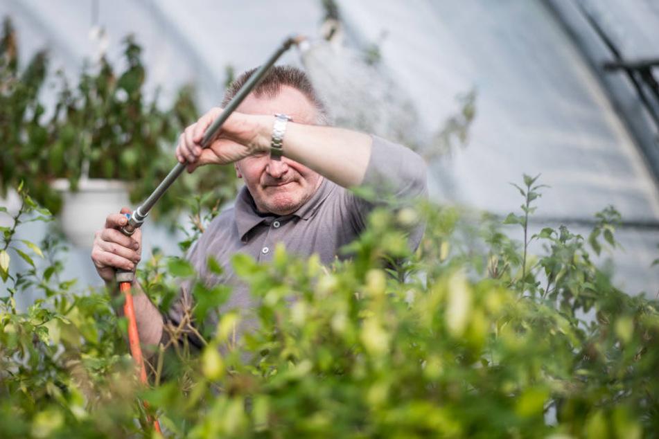 Der 59-jährige Häftling Karl-Heinz D. steht in der Gärtnerei der Abteilung für lebensältere Inhaftierte in der JVA Bielefeld-Senne und gießt dabei Blumen.