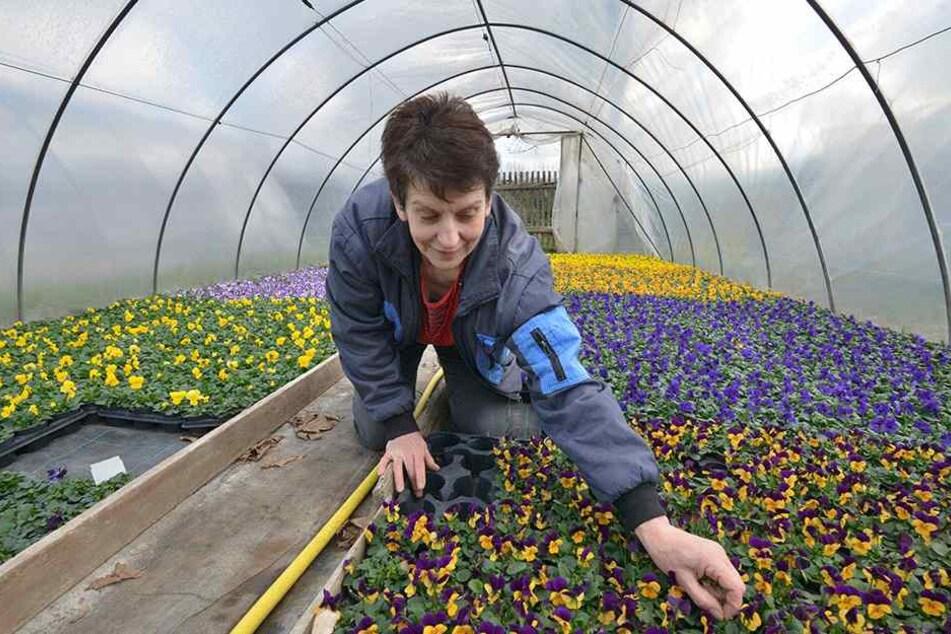 Wegen der milden Temperaturen muss Ute Franke ihre Gewächshäuser für die Frühblüher derzeit nicht beheizen.
