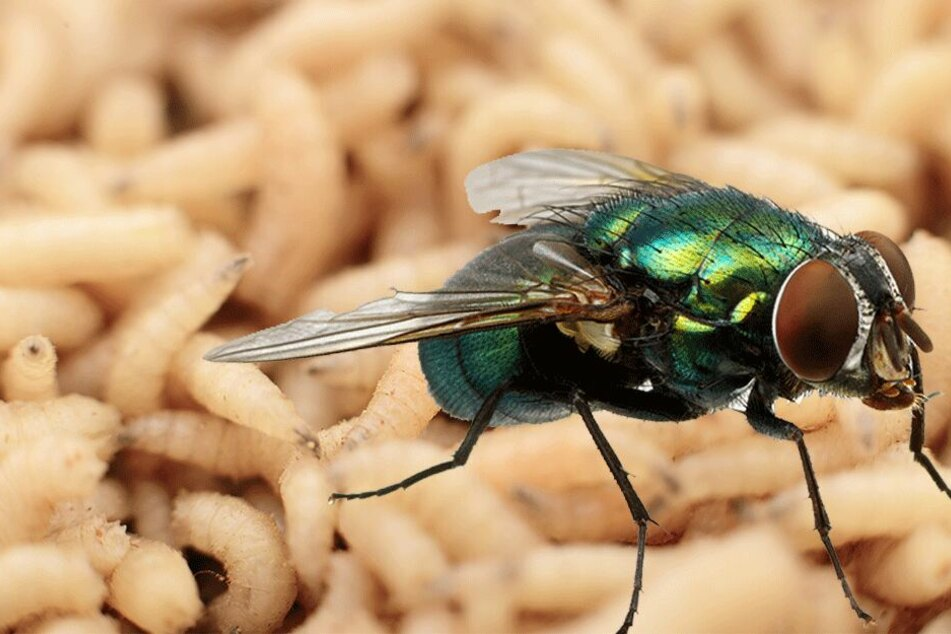 Unmengen von Fliegen und Maden sollen sich in den Körper des Toten eingenistet haben. (Symbolbild)