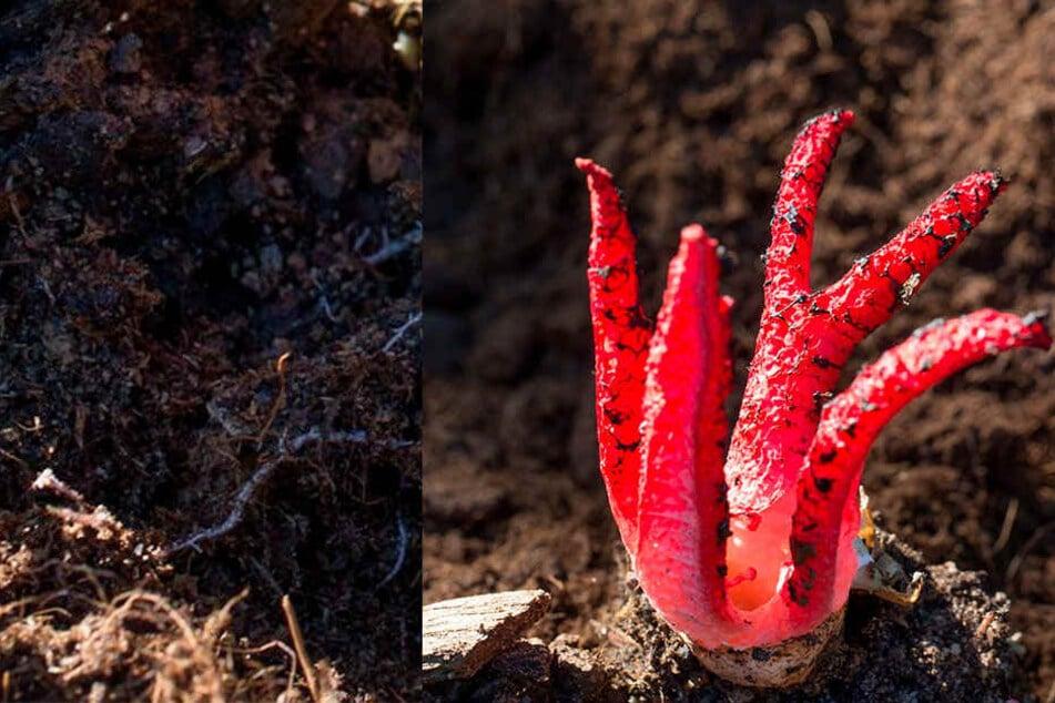 Pilze mit bestialischem Geruch breiten sich in unseren Wäldern aus