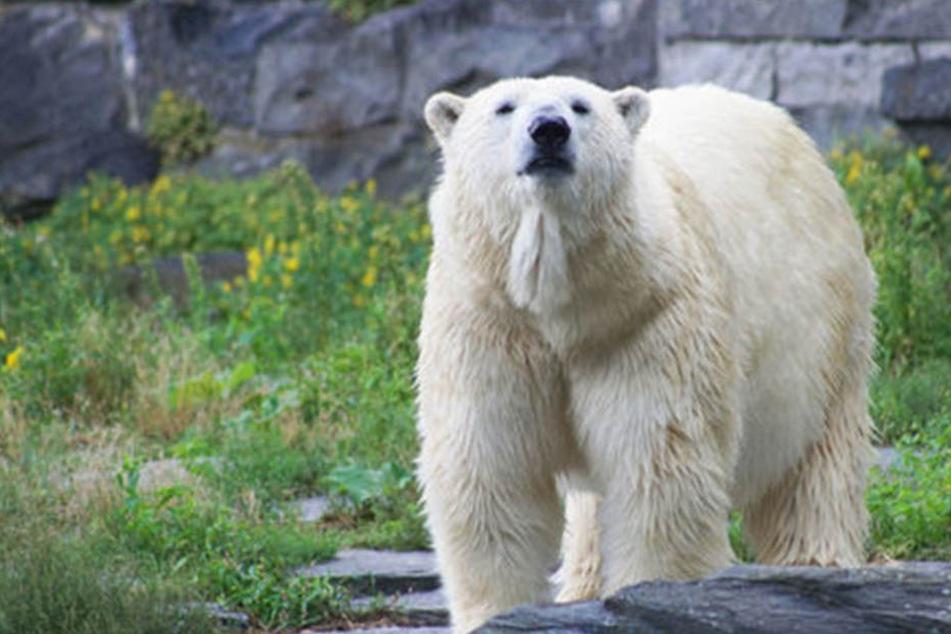 Vielleicht wird Eisbären-Dame Tonja demnächst wieder Mutter.