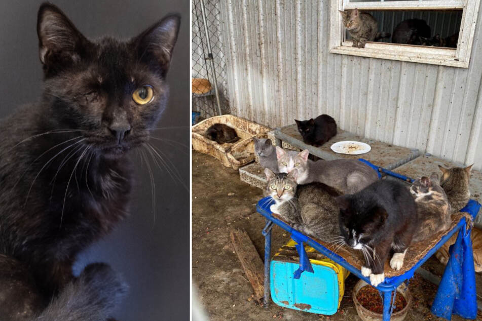 The cats were kept in horrible conditions(r). Some cats suffered injuries that they will carry for life (l).