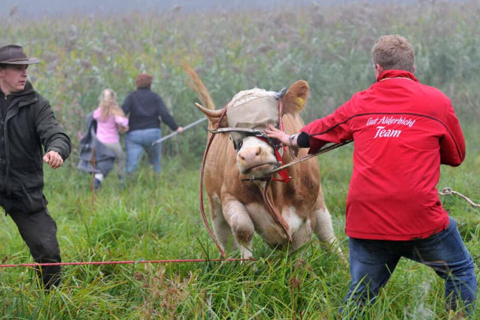 Ihre Flucht machte sie weltweit berühmt. Auf einer Weide bei Stefanskirchen im Landkreis Mühldorf am Inn wurde Kuh Yvonne schließlich eingefangen.