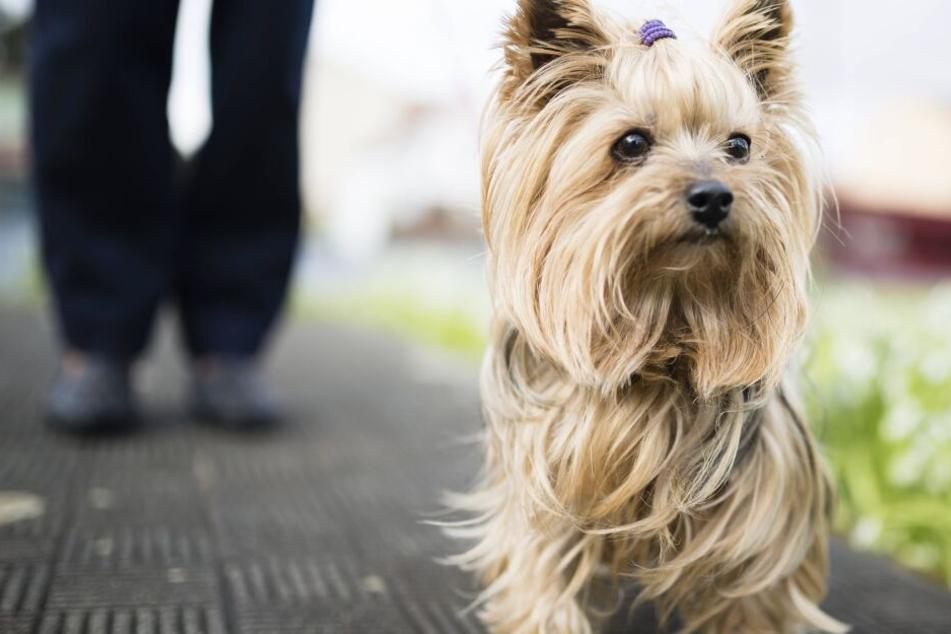 Hundsitterin geht mit kleinem Terrier gassi, danach ist der Hund tot